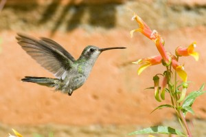 Lucifer Hummingbird Mid-air